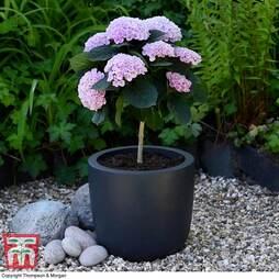 Hydrangea macrophylla 'Magical Revolution Pink' Standard