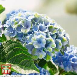 Hydrangea macrophylla 'Magical Revolution Blue' Standard