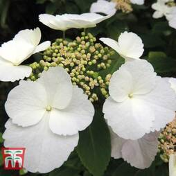 Hydrangea macrophylla 'Benxi'