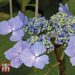 Hydrangea macrophylla 'Nizza'