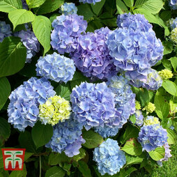 Hydrangea macrophylla 'Early Blue'