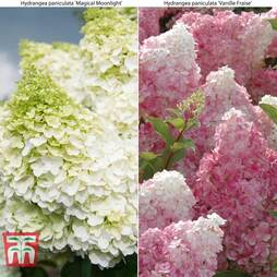 Hydrangea paniculata Duo
