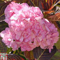 Hydrangea macrophylla 'Hobella'