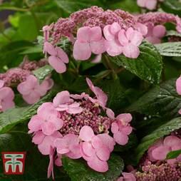 Hydrangea macrophylla 'Endless Summer - Twist & Shout'