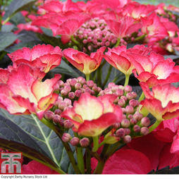 Hydrangea macrophylla 'Dark Angel'