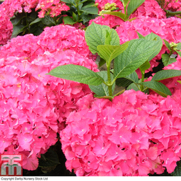 Hydrangea macrophylla 'Red Angel'