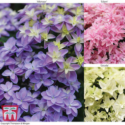 Hydrangea Double Dutch Collection