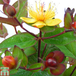 Hypericum 'Magical Red Flame'