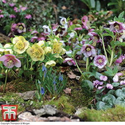 Hellebore 'Anemone Flowered' Collection