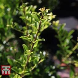 Holly triflora var. kanehirae
