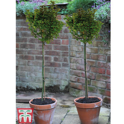 Ilex 'Little Rascal'