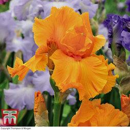Iris 'Orange Harvest' (Re-Blooming)