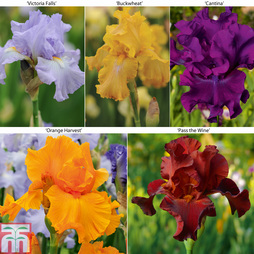 Iris 'Re-Blooming Collection'