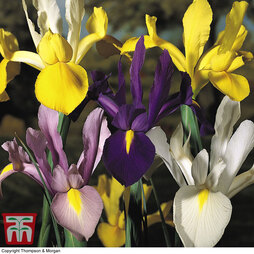 Iris 'Dutch Mixed'
