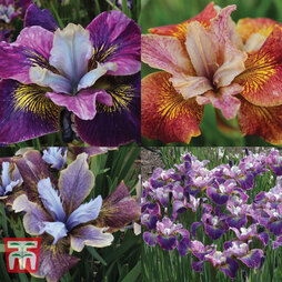 Iris 'Peacock Butterfly Series'