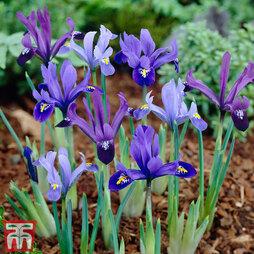 Iris 'Dwarf Reticulata'