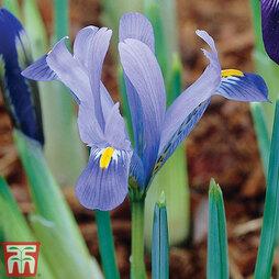 Iris 'Dwarf Reticulata Harmony'