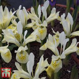 Iris 'Katharine's Gold'