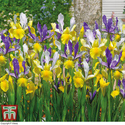 Iris 'Mysterious Rainbow' Mix