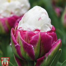 Tulip 'Ice Cream'