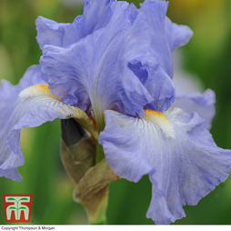 Iris 'Victoria Falls' (Re-Blooming)