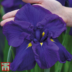Iris ensata Dinner Plate 'Blueberry Pie'