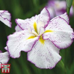 Iris ensata Dinner Plate 'Tirimasu'
