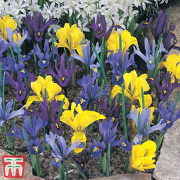 Iris Dwarf Collection