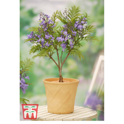 Jacaranda 'Bonsai Blue'