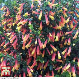 'Jacobinia' Brazilian Fuchsia
