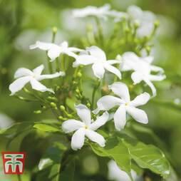 Jasminum officinale Potted Plants