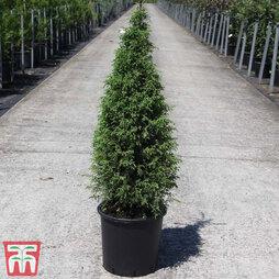 Juniperus communis 'Pyramidalis'