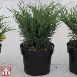 Juniperus sabina 'Blue Sparkle'