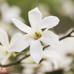 Magnolia salicifolia 'Wada's Memory'