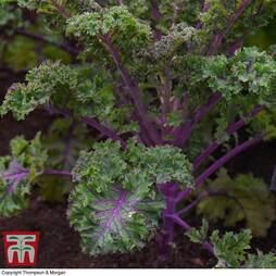 Kale 'Scarlet'