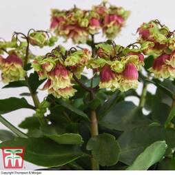 Kalanchoe 'Dolly' (House Plant)