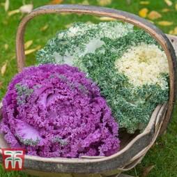 Kale 'Jardin Mixed'