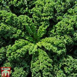 Kale 'Kapral'