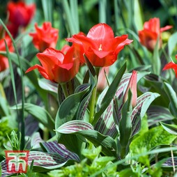 Tulip 'Red Riding Hood'
