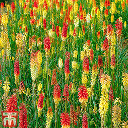 Kniphofia 'Flamenco Mixed'