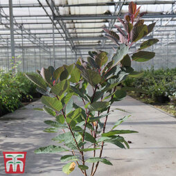 Lagerstroemia indica 'Double Feature'