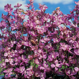 Larkspur 'Splish Splash'