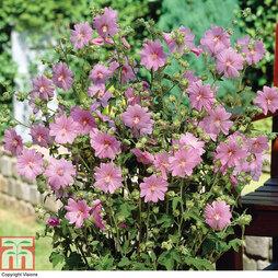 Lavatera x clementii 'Rosea'