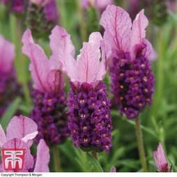 Lavender 'Pink Summer Improved' (Butterfly Garden)