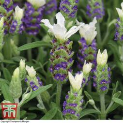 Lavender 'White Giant Summer Improved' (Butterfly Garden)
