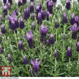 Lavender 'Favourite Summer Improved' (Butterfly Garden)