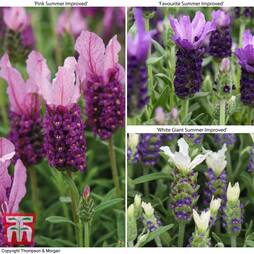 Lavender 'Summer' Collection (Butterfly Garden)