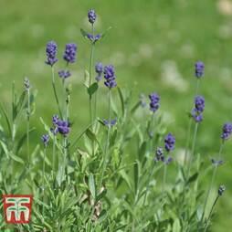 Lavender 'Dwarf Blue'