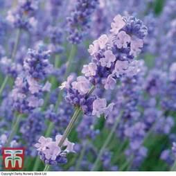 Lavender 'Melissa Lilac'