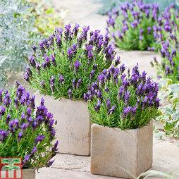 Lavender stoechas 'Bandera'